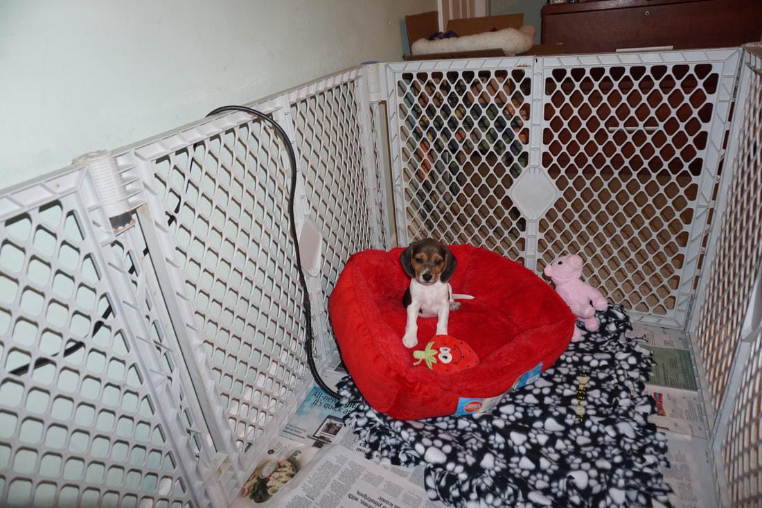 Blog Posts Family Raised Sunshine Acres Beagle Puppies